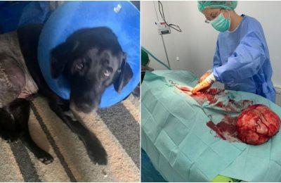 """Un labrador a scăpat miraculos după ce medicii i-au extirpat o tumoare de mărimea unei """"mingi de fotbal"""""""